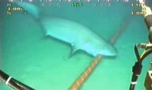 Đứt cáp quang, đừng đổ tại... cá mập
